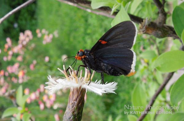 Butterflies and Moths of Argentina