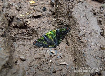 Green Mantle Butterfly