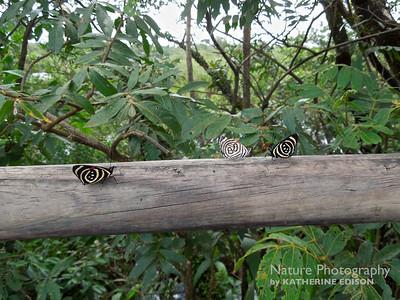 Little Callicore and Ochenta y Ocho Butterflies