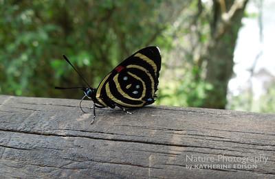 Little Callicore Butterfly