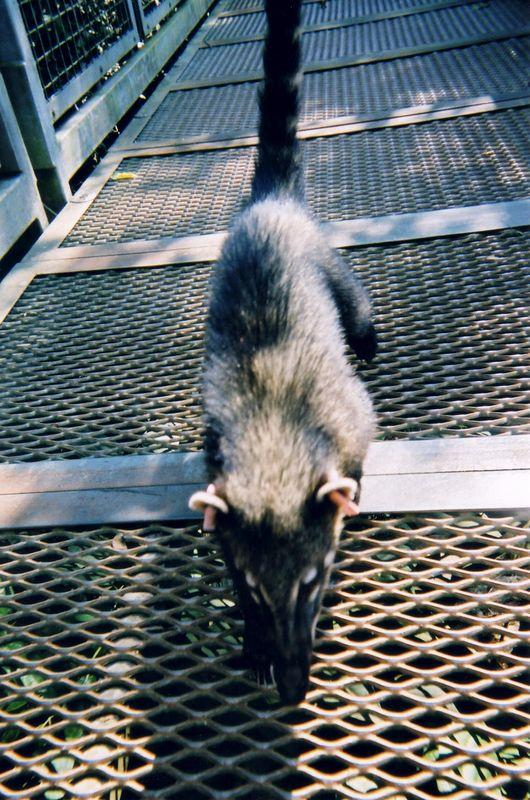 rat_like_animal
