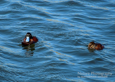 Andean Ruddy Ducks