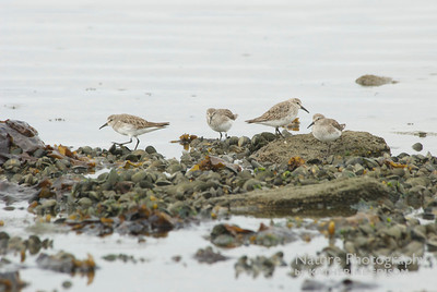 White Rumped Sandpipers