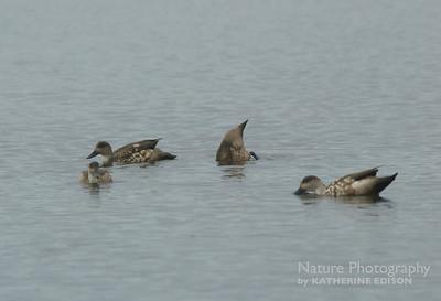 Crested Ducks