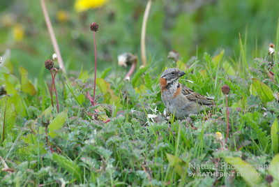 Chingolo--Rufous-collared or Andean Sparrow