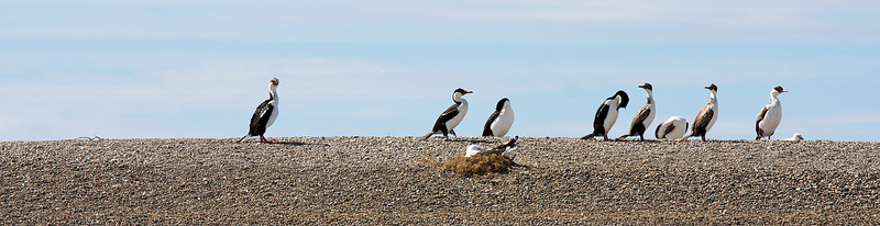 imperial cormorants, bahia san julian
