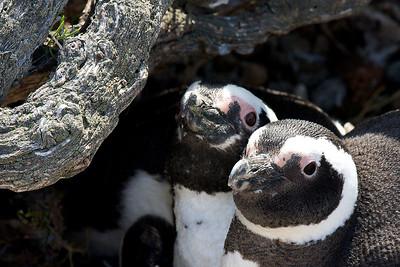 magellenic penguins, bahia san julian