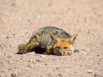 Coyote in the Atacama Desert