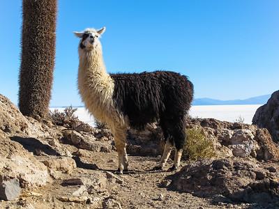 Llama on Isla Incahuasi