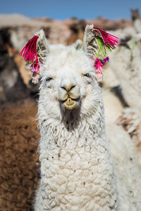 Llama, Salar de Uyuni, Bolivia