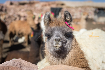 Llamas coralled at night from cougars in the high plains of Bolivia