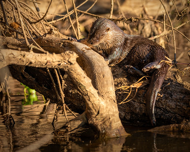 Southern (Neoptropical) River Otter