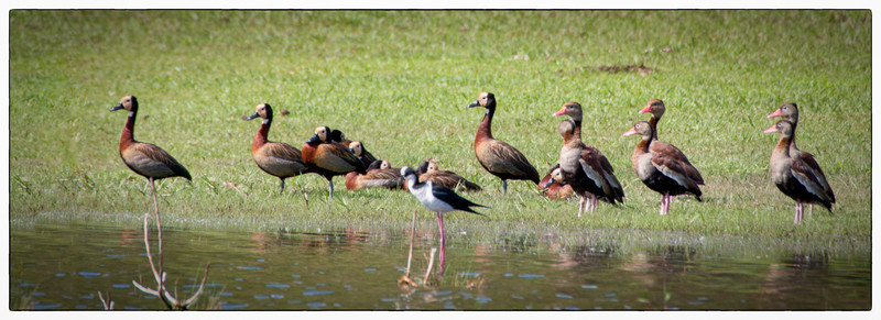 Black-bellied and White-faced Tree Duck