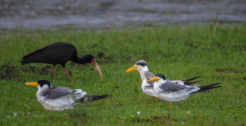 Large-billed Tern, Bare-faced Ibis