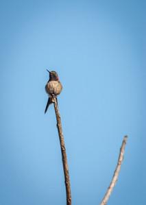 Fork-tailed Hummingbird
