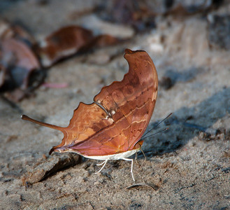 Leaf Mimic