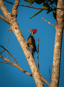 Linneated Woodpecker