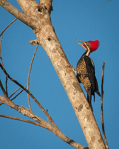 Lineated Woodpecker (m)