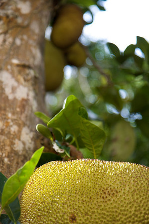 jackfruit on ilha grande
