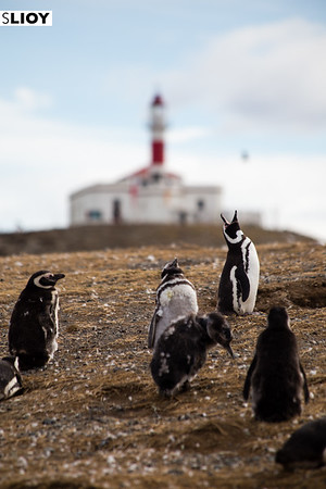 Magellenic penguins on Isla Magdalena, near the Chilean Patagonia town of Punta Arenas.