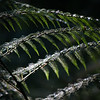 Macro shot of a fern in Chilean Patagonia's Parque Pumalin.