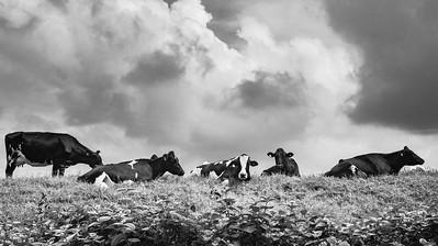 Grazing cows ... Filandia ... Colombia