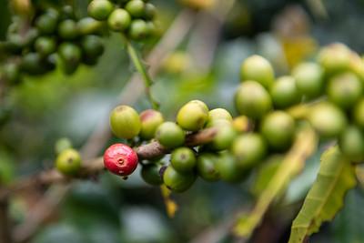 Coffee bean ... Filandia