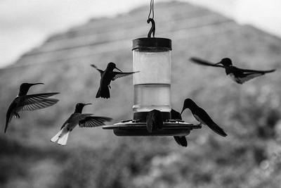 Hummingbirds ... Minca