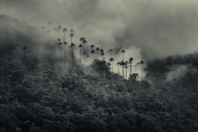 Palms in the mist, Valle de Cocora, Colombia.