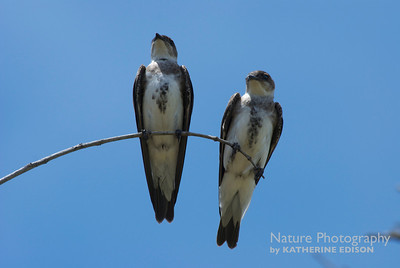 Brown Chested Martins