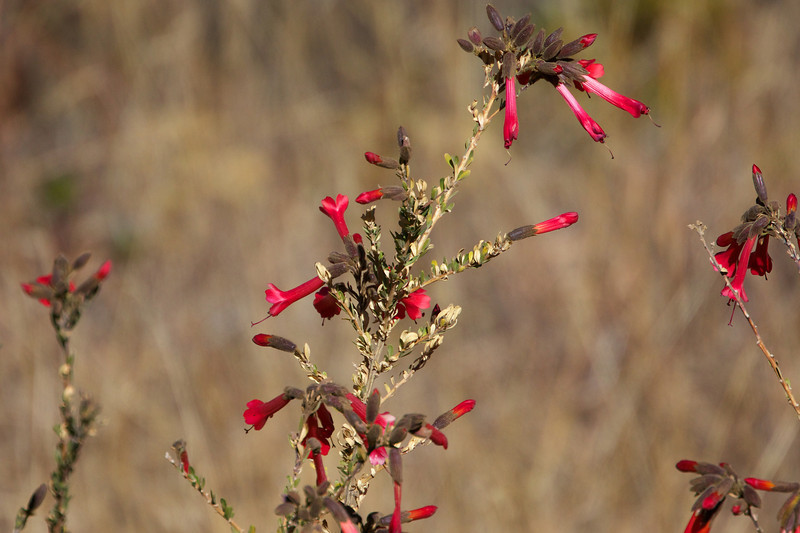 Cantuta, the unofficial national flower of Peru<br /> Copyright 2012, Tom Farmer