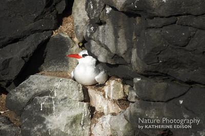 Red-billed Tropicbird on Nest