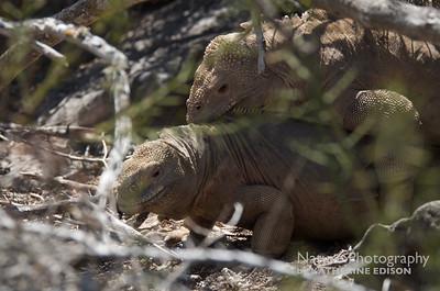 Santa Fe Land Iguanas Mating