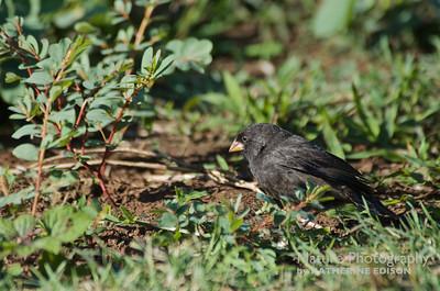 Darwin's Finch--Small Ground Finch