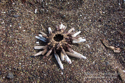 Pencil-spined Sea Urchin