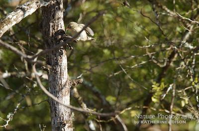 Darwin's Finch-- Woodpecker Finch