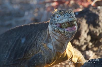 Land Iguana Eating Cactus