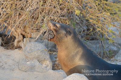 Sea Lion Yawn