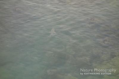 Blacktip Shark in Bay