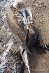 Resting Booby