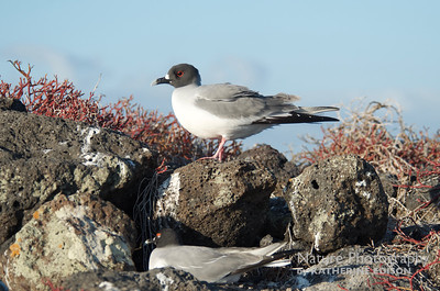 Swallow-tailed Gulls