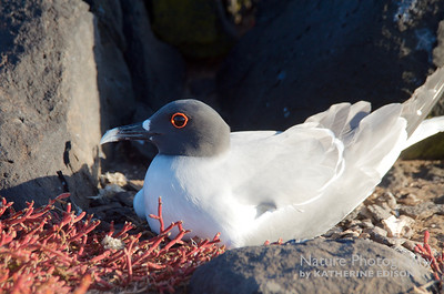 Swallow-tailed Gull on Nest