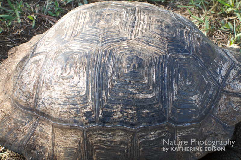 Giant Tortoise Shell Pattern