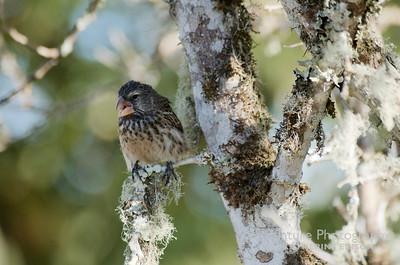 Darwin's Finch--Medium Ground Finch