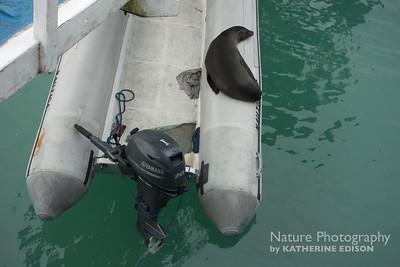 Sea Lion Sleeping on Dinghy