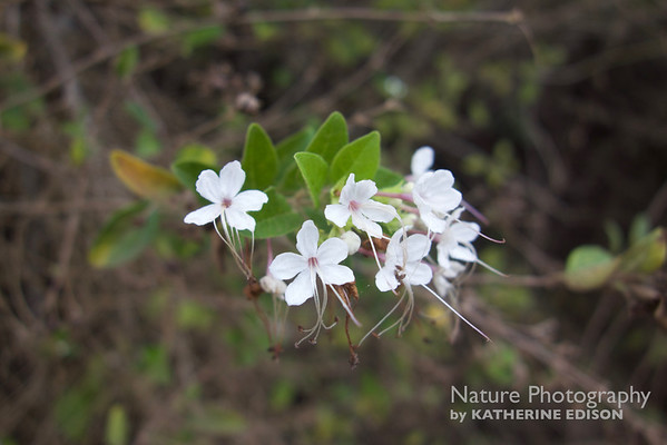 Glorybower (Clerodendrum molle)