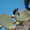 Darwin's Finch--Cactus Finch