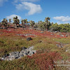 Galapagos Carpetweed (red) and Prickly Pear Cactus
