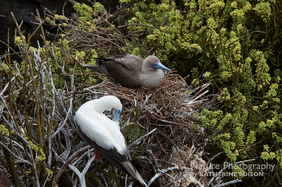 White phase Red-footed Booby