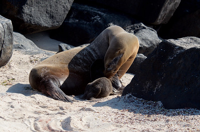 Mother Sea Lion and Newborn